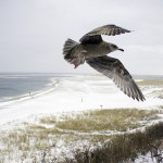 winter-seagull-at-lighthouse-beach-chatham-ma