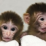 Macaque-monkey-twins-Mito-001