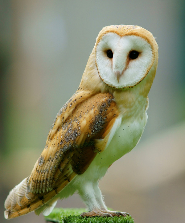owl pictuers